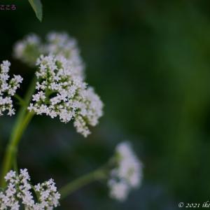 セイヨウカノコソウ(西洋鹿子草)Valeriana officinalis
