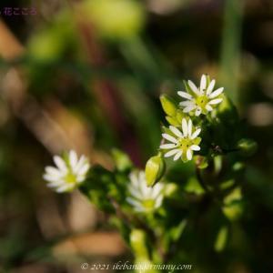 コハコベ(小繁縷)Stellaria media