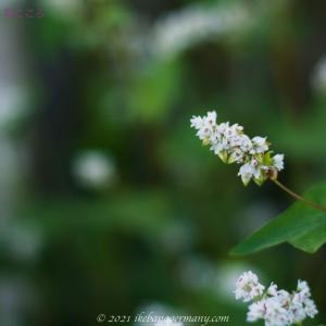 ソバ(蕎麦)Fagopyrum esculentum