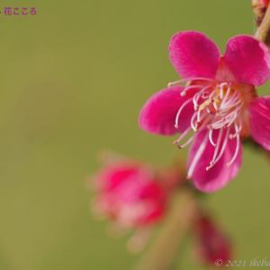 ウメ(梅)Prunus mume
