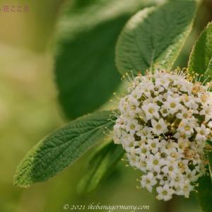 ランタナガマズミ Viburnum lantana