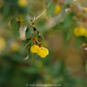 メギ科メギ属の花 Berberis 世界に約600種あるそうです