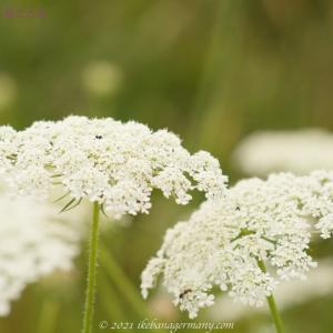 ノラニンジン(野良人参)Daucus carota 夏に涼やかな花を咲かせる