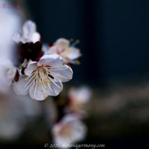 アンズ(杏子または杏)Prunus armeniaca 梅によく似た春の花木