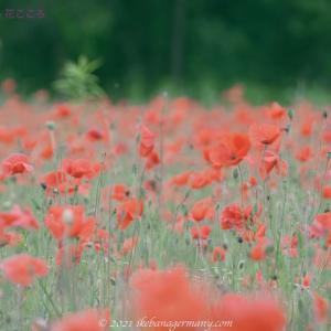 咲き乱れるナガミヒナゲシ その風景は圧巻のひとこと