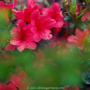 キリシマツツジ(霧島躑躅)Rhododendron obtusum 日本産で園芸品種の多いツツジ