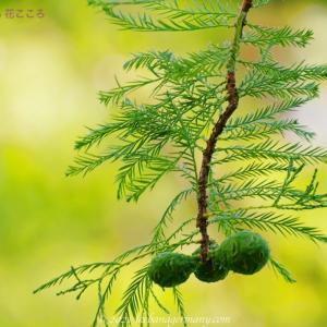ラクウショウ(落羽松)Taxodium distichum メタセコイヤに似ている針葉樹