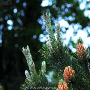 モンタナマツ Pinus mugo ヨーロッパ原産の低木松