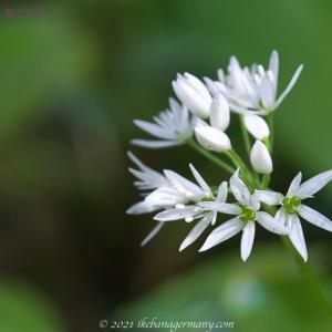 クマニラ(熊韮)Allium ursinum ラムソンとも呼ばれる