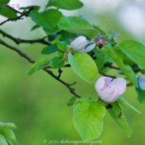 マルメロ(榲桲)Cydonia oblonga ピンクの可愛い花