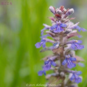 セイヨウジュウニヒトエ(西洋十二単)Ajuga reptans アジュカの名でも呼ばれる花