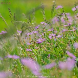 ピレネーフウロ Geranium pyrenaicum