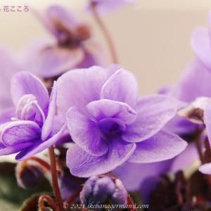 アフリカスミレ(阿弗利加菫)Saintpaulia セントポーリア