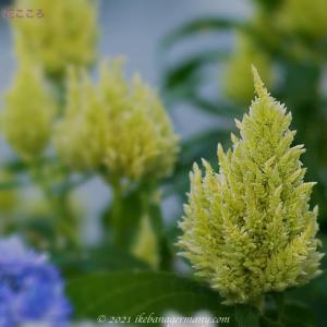 ケイトウ(鶏頭)Celosia argentea