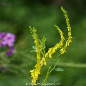 シナガワハギ(品川萩)Melilotus officinalis