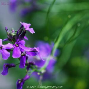 ハナダイコン(花大根)Hesperis matronalis シューベルトの歌曲にもなった花