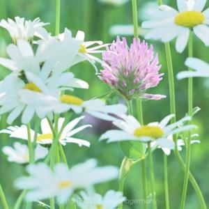 ムラサキツメクサ(紫詰草)Trifolium pratense