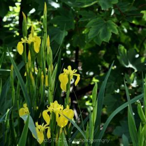 水辺に咲くキショウブ(黄菖蒲)Iris pseudacorus