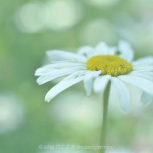 夢見る花園 フランスギク(仏蘭西菊)Leucanthemum vulgare
