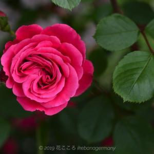ご近所さんの薔薇 Rosen eines Nachbarschaft