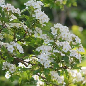 白い花の蕊が素敵なセイヨウサンザシ(西洋山査子)Crataegus monogyna