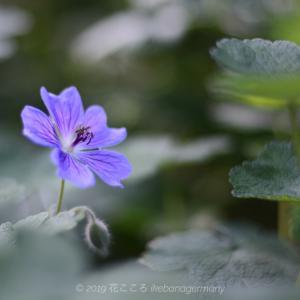 花後がコウノトリのクチバシを思わせる青い花が鮮やかなフウロソウ(風露草) Geranium platypetalum