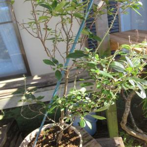 コバノズイナ苗木をサイズダウン