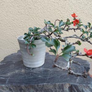 長寿梅の赤い花