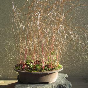 枯れた紅葦と紅茅を刈る