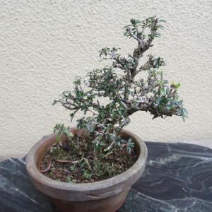香丁木(コウチョウボク)の植替え