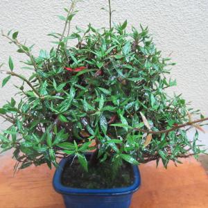 小品チリメンカズラの新芽を摘む