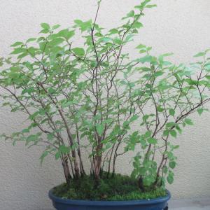 ヒメシャラ(姫沙羅)の葉刈り