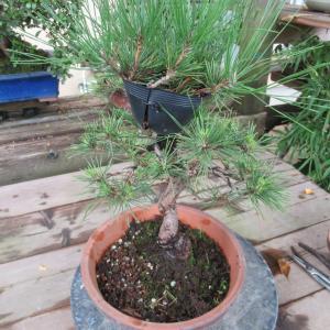 黒松素材の取り木を外す