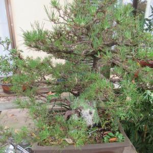大幹で老木黒松の幹と鉢内を掃除