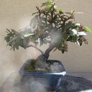 3鉢目の寒茱萸(カングミ)の葉刈り