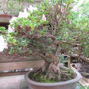 サツキ大幹「旭の光」花後の剪定