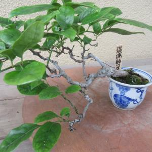 瑠璃瓢箪(ルリビョウタン)の鉢替え