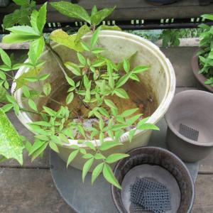 庭に自生した幼木の鉢上げ