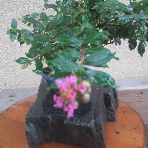 姫百日紅(ヒメサルスベリ)の花が咲きました