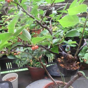 ウメモドキ(梅擬)の取り木を外す