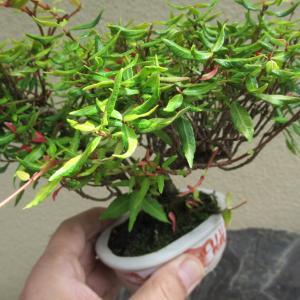 ミニのチリメンカズラを植替えて鉢も替える