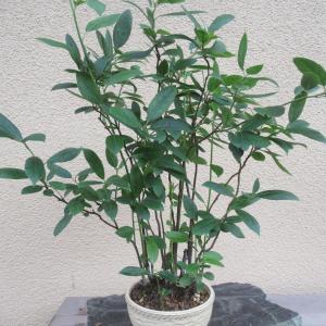 コバノズイナ寄せた苗木を剪定