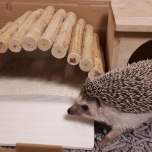 【ハリネズミ飼育初心者向け】ペットショップでの購入から飼い始めるまでの手順