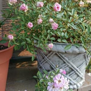 つるバラのフェンス、私流…(^-^)v バラ庭への道④