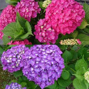 紫陽花はブルー系が好きかな