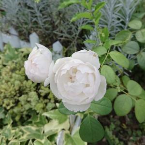 今日、庭で見つけた白い花たち…