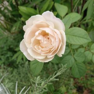 グランドカバーと小花