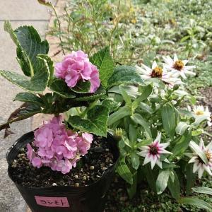 アジサイ、3度目の開花