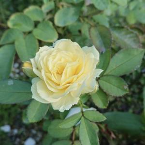 黄色のバラたち