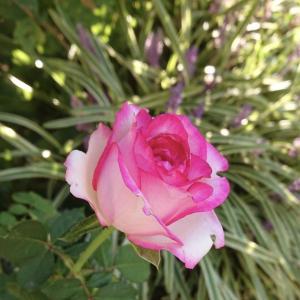 切り花品種のバラやコスモスの花、キレイです。